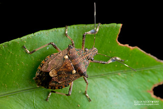 Shield bug (Dalpada sp.) - DSC_8056