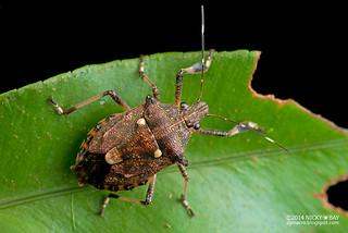 Shield bug (Dalpada sp.) - DSC_8056