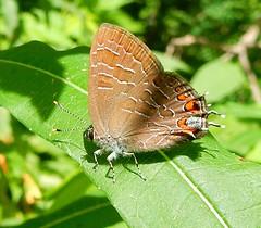 Butterfly - Lycaenidae