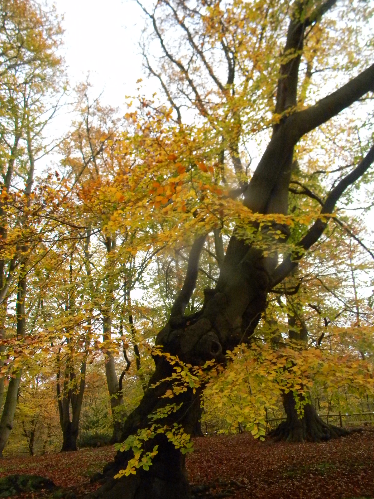 Autumn shot 3 Epping Forest, Loughton to Essex