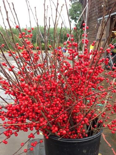 ilex winterberry