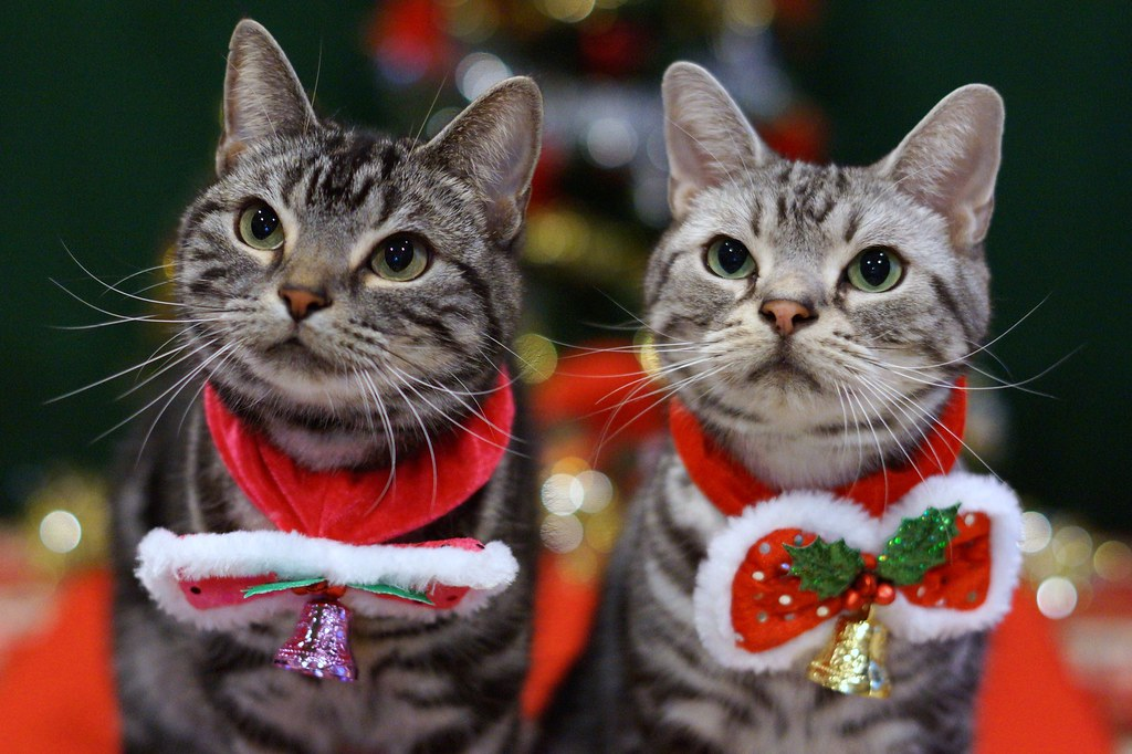 Two beautiful cats decked out in jingle bell collars, unique cat-themed Christmas gifts idea for under $50!