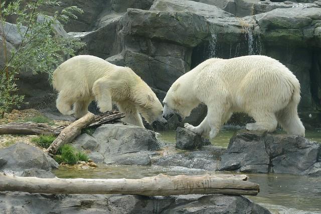 Eisbären Lynn und Ranzo im Tiergarten Schönbrunn