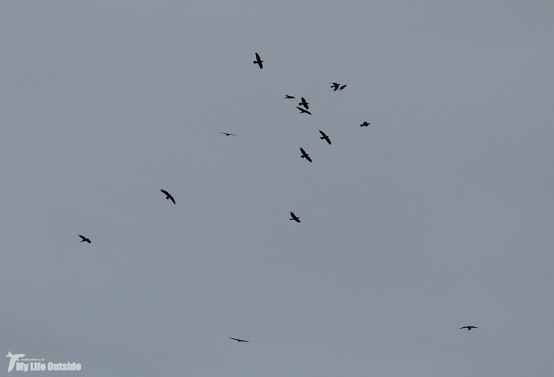 P1100500 - Local Ravens