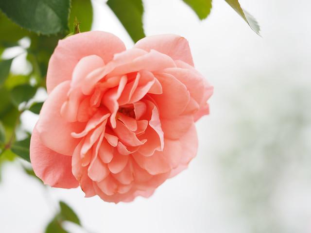 Photo:Rose, Pink Tink Tiara, バラ, ピンク ティンク ティアラ, By T.Kiya