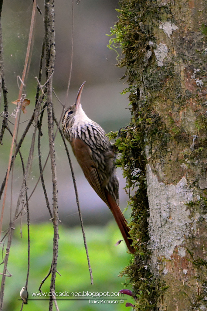 Chinchero escamado (Scaled Woodcreeper) Lepidocolaptes falcinellus