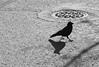 urban-bird-2_1794