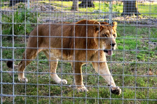 Lion Strut