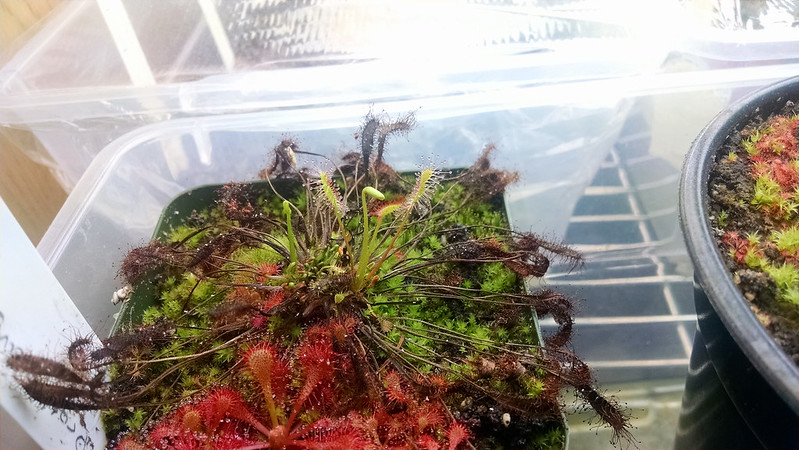 Drosera anglica CA x HI new growth.