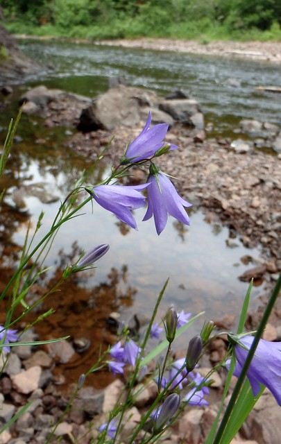 several harebell flowers next to a river