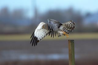 Male Northern Harrier Hawk