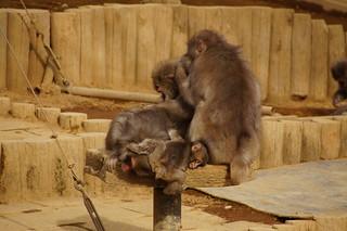 033 Japanse makaken