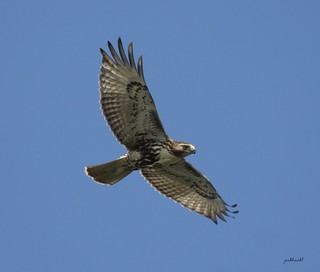 """""""Red-tailed Hawk"""" """"Buteo jamaicensis"""""""
