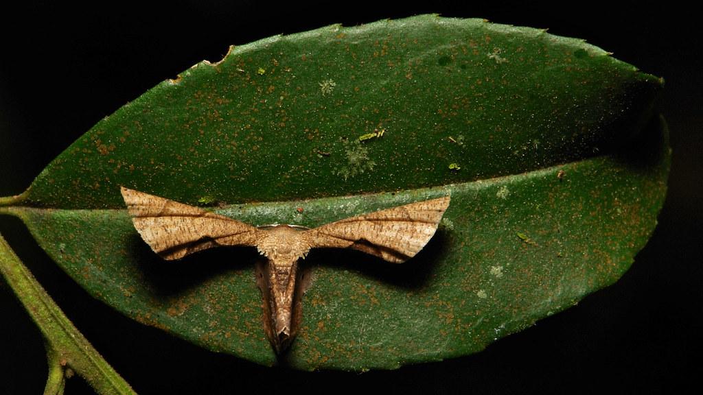 Epiplemiine Moth (Phazaca sp., Epipleminae, Uraniidae)