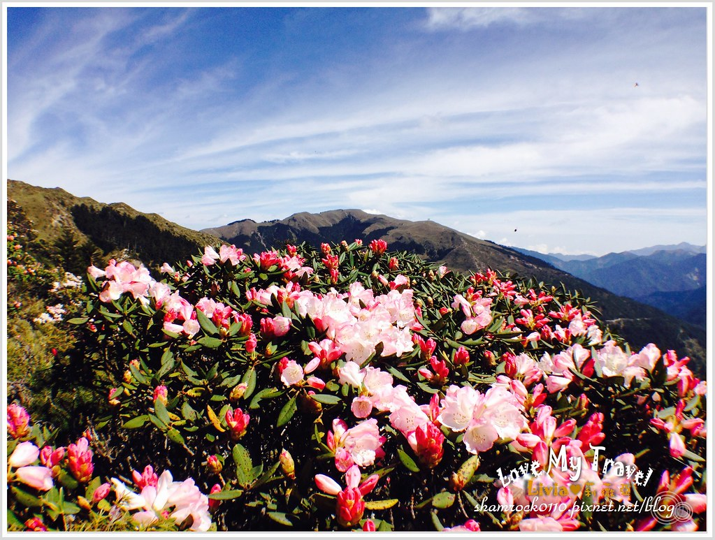 合歡山杜鵑花 -17