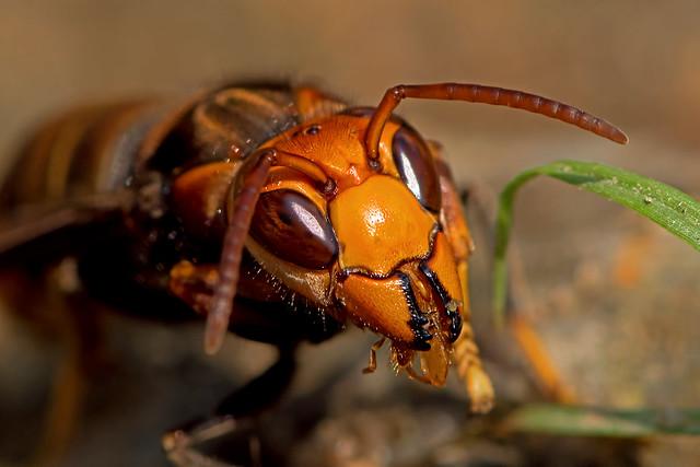 Vespa velutina - the Asian Hornet enjoying lunch