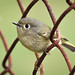 Rusty Footed Kinglet by swbshop1