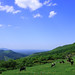 草を食む - Cows graze grass.