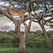 Lioness in Tree Scenic by MyKeyC