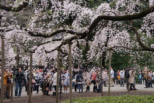 日本的樱花 - naniyuutorimannen - 您说什么!