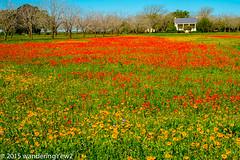 TXWildflowers2015-3842