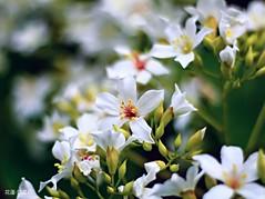 花蓮-碧雲莊 油桐花