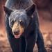 A Happy Bear Portrait by Bartfett