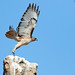 Red-tailed Hawk by lironsnaturephotography.com