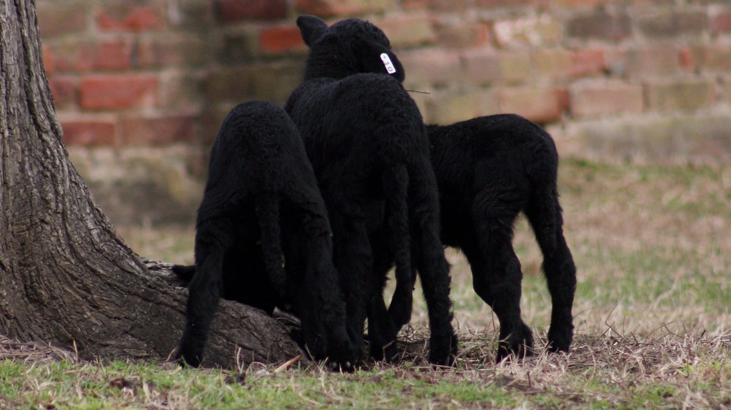 The Rear View (lambs at Mount Vernon)