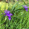 It's so exciting to see supermarket flowers in the wild. Spotted these wild iris on our walk in the Del Monte Forest this morning. #pebblebeach #california #delmonteforest #wildflowers #iiris #iPhone6 #walk!!!