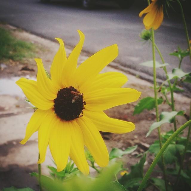 In full bloom.