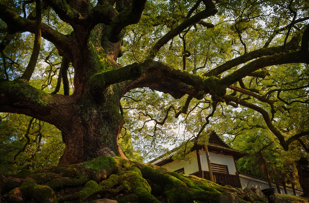 An old tree at the Shoren-in temple
