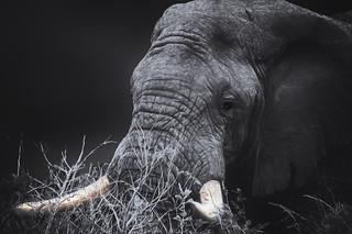 elephant head black and white arty