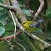 Blue-winged Warbler, San Francisco, Chiapas, Mexico
