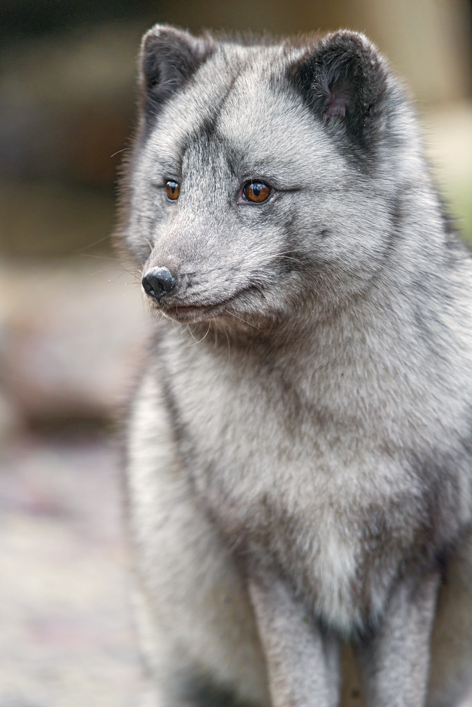 Attentive posing arctic fox