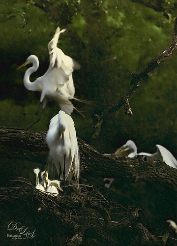 Image of Snowy Egrets at St. Augustine Alligator Farm rookery