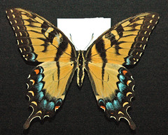 Papilio glaucus (female eastern tiger swallowtail butterfly)