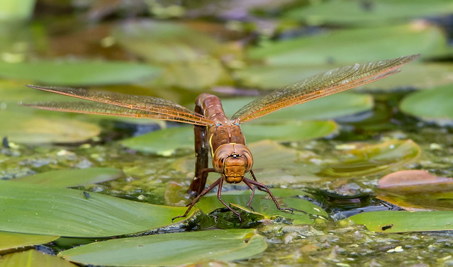 Get on in there - Brown Hawker