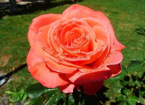 Una rosa después de la tormenta.