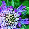 Scabious: one of my favourite wild flowers. :heart_eyes: #photoaday #nofilter #flower #flowermacro