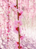Photo:Weeping Ume blossoms. 枝垂れ梅 By T.Kiya