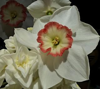 March Daffodil