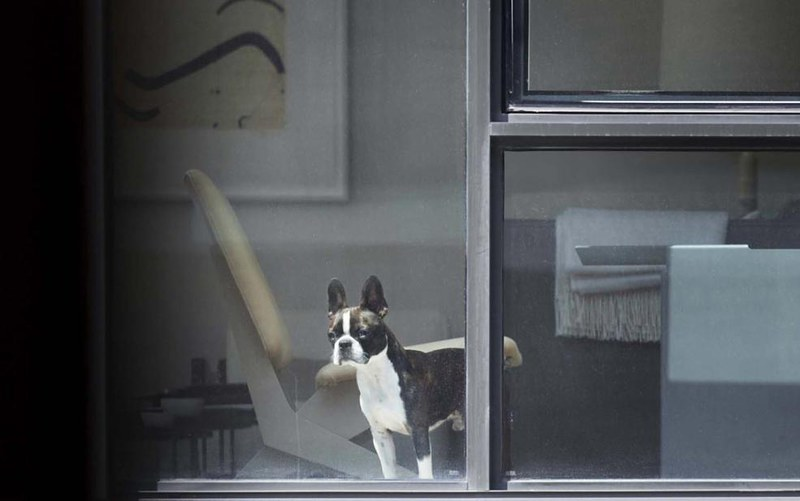 frenchie_in_window