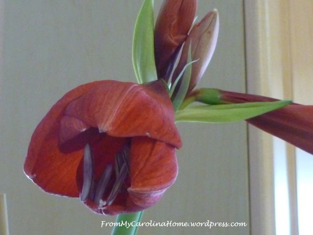 Amaryllis rebloom 10