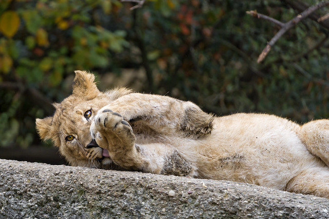 Lion cub in a cute position