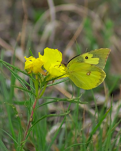 nature butterfly insect texas wildlife lepidoptera decatur lbjgrasslands southerndogface