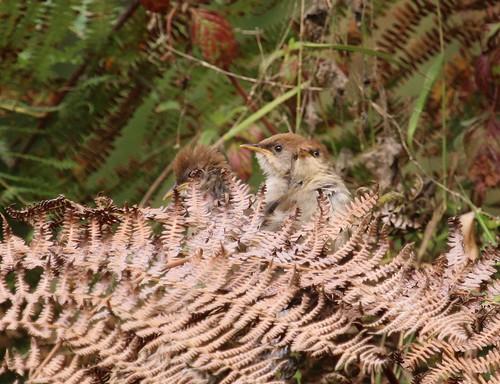 Cisticola chubbi (Chubb's Cisticola) fledglings
