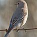 Female Mountain Bluebird (Sialia currucoides) by Don Delaney