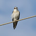 A87A9834  Black-shouldered kite (Elanus caeruleus) by steve.ray50