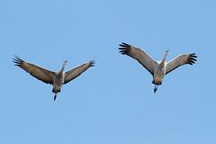 Rails, Coots, Cranes
